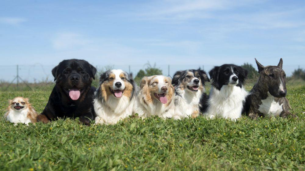 Australian Shepherd mit anderen Hunden