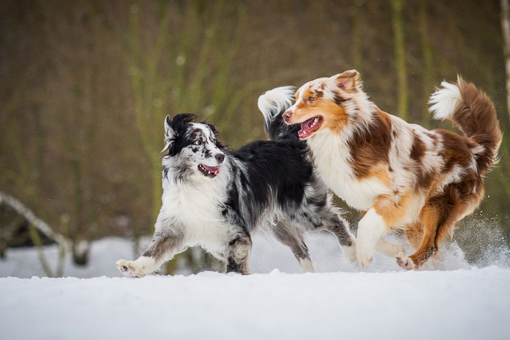 Zwei Australian Shepherd spielen im Schnee.