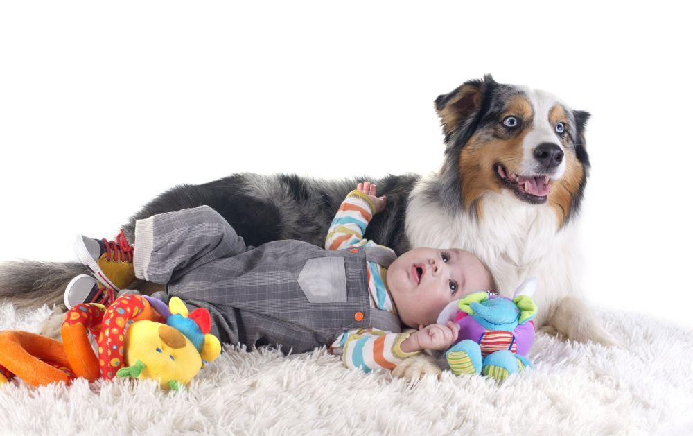 Ein Australian Shepherd kann in Not geraten, wenn der Hund eifersüchtig auf das Neugeborene wird.