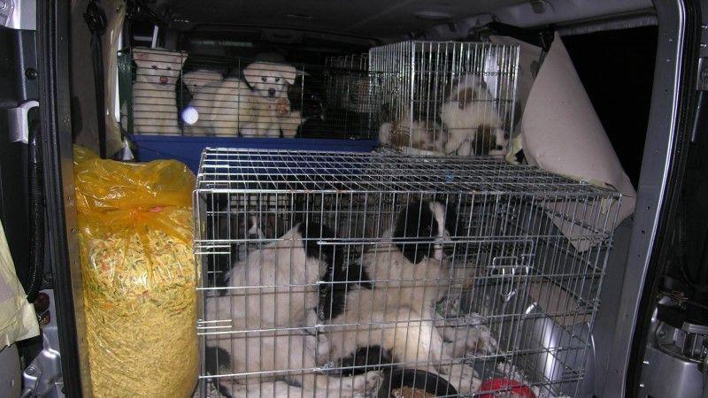 Kaufen Sie keine Australian Shepherd Welpen aus dem Kofferraum