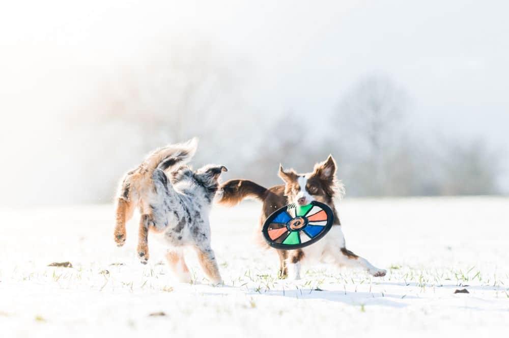 Australian Shepherd mit Frisbee beschäftigen