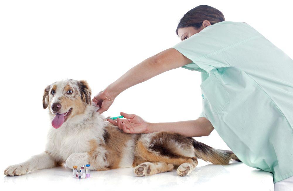 Welche Impfung ist für meinen Australian Shepherd nötig?