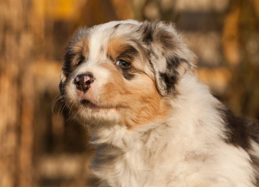 Preis, Kosten, Australian Shepherd Welpen