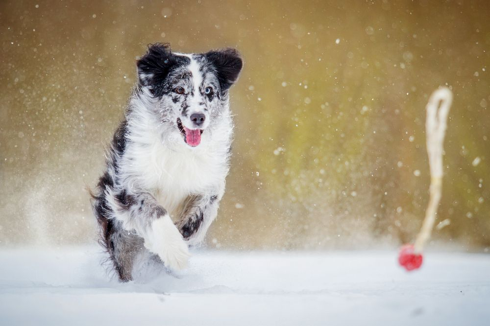 Australian Shepherd im Winter beschäftigen