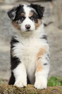 Australian Shepherd Welpen impfen