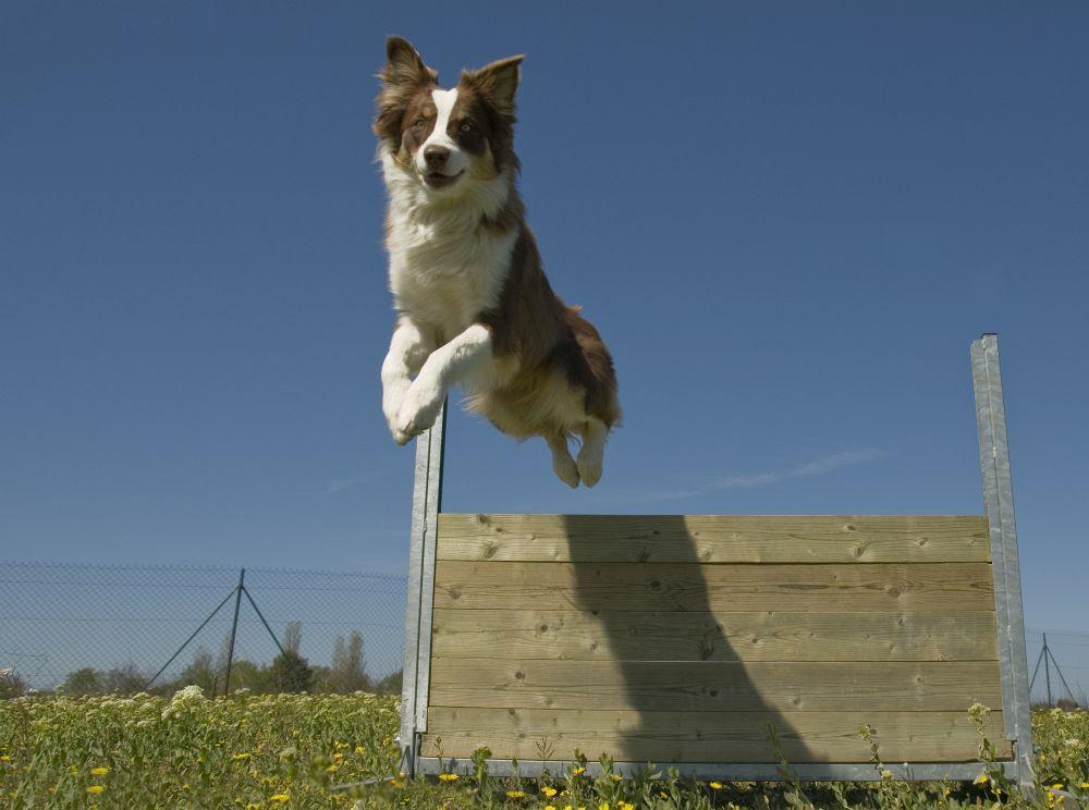 Das Springen über Hürden als Beschäftigung für den Australian Shepherd.