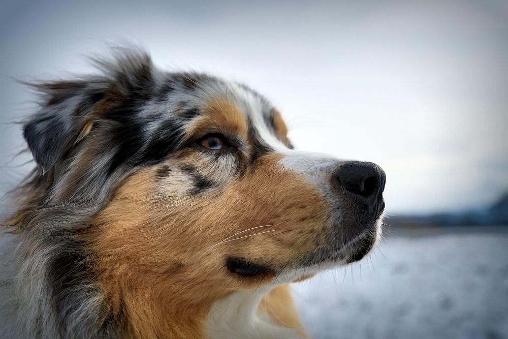 Eine Ohrenentzündung ist auch für den Australian Shepherd sehr schmerzhaft.