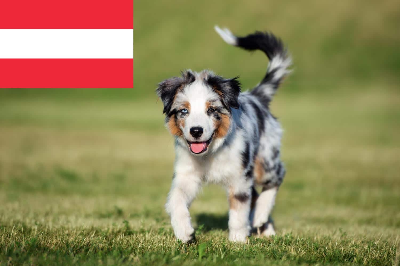 Australian Shepherd Welpen in Österreich