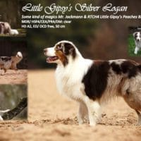 Little Gipsy's Silver Logan (red merle white/copper)