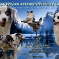 Cold-Mountains-Whisky in the Jar (Paddy), blue-merle Bi Deckrüde, red-factored, ASCA Papiere