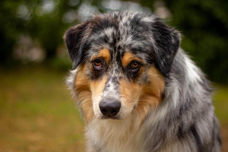 Australian Shepherd in Not, aus dem Tierheim oder Tierschutz
